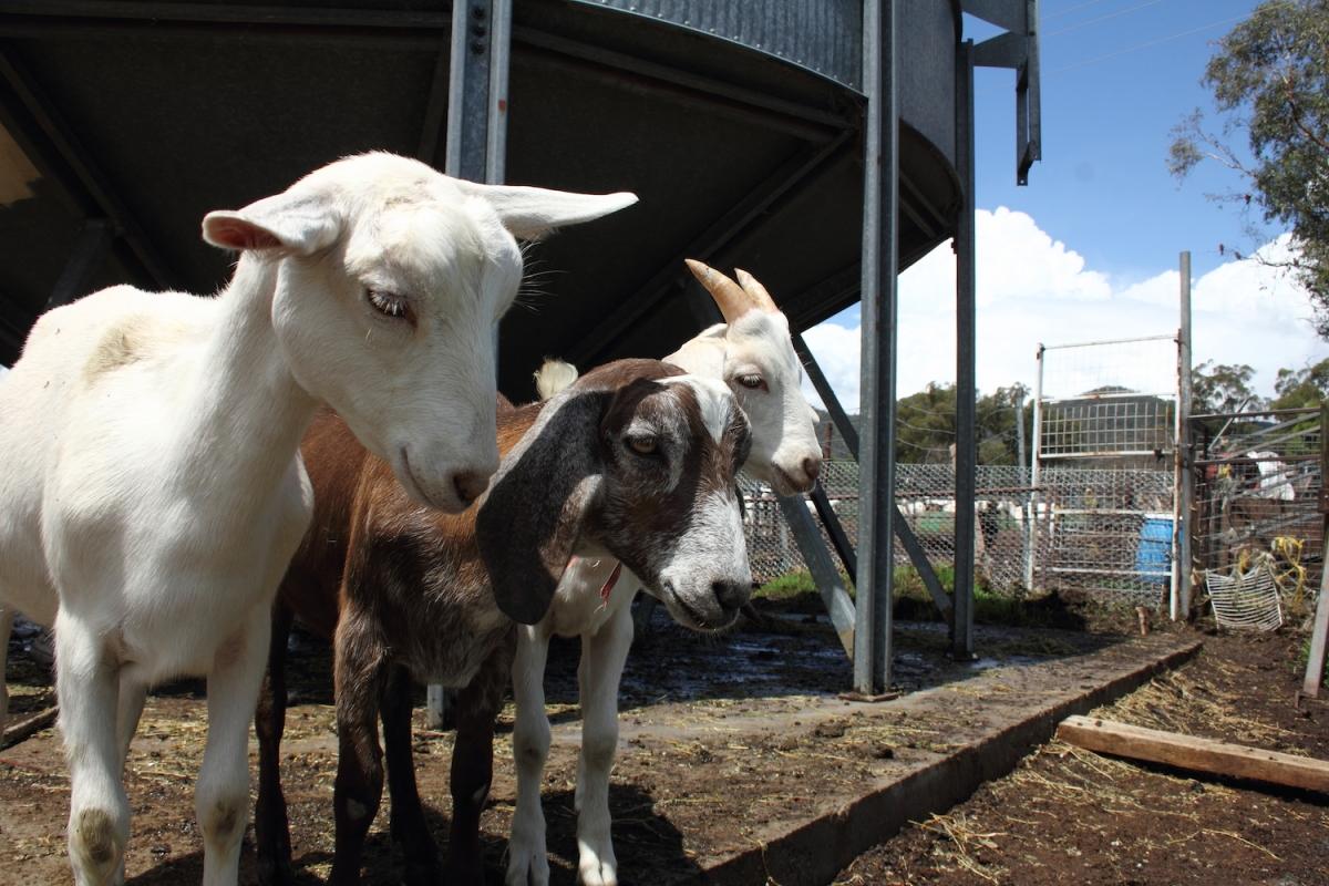 HelpX dans une ferme de chèvres !