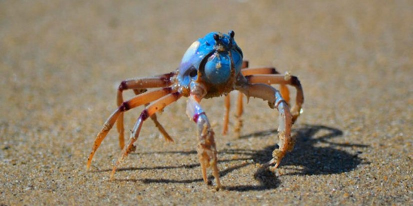 ian-bool-light-blue-soldier-crab_wide