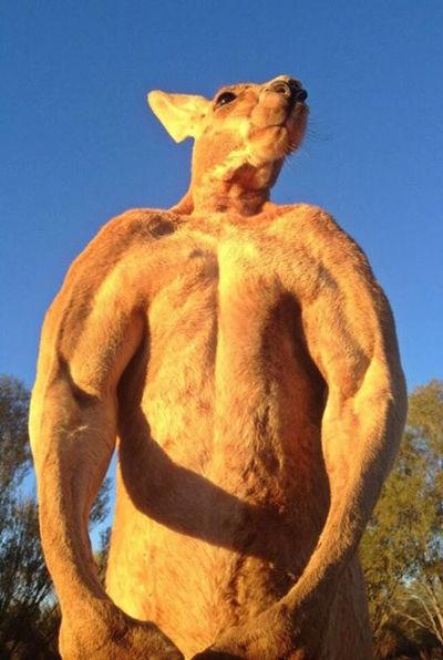 roger-kangourou-alice-springs-2