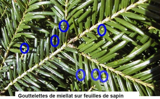 gouttelettes_miellat_sur_sapin.jpg
