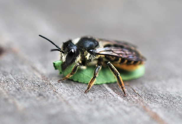 Megachile Marc Sardi-compressed.jpg
